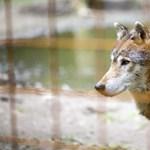 Farkas támadhatott meg két kisgyermeket Lengyelországban