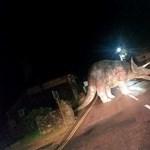 Vezet az ember hazafelé, és egyszer csak ott áll az úton egy Triceratops