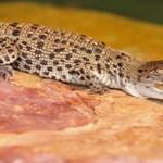 Fotó: Ausztrália ezzel a krokodillal kedveskedett a királyi kisdednek