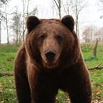 Medvék bolyonganak az észt fővárosban