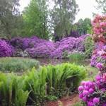 Rododendronok nevelése otthon - Kertész tippek