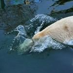 Huszonöt évet vártak rá: jegesmedve született egy brit állatkertben