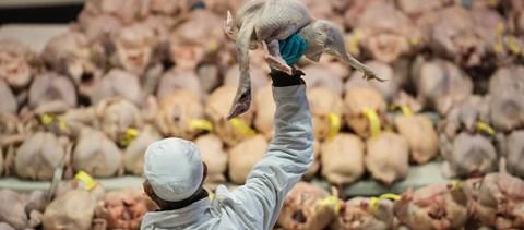 Magyarországra is érkezett a szalmonellás lengyel baromfiból