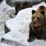 A szlovák Harambe? Lelőttek egy medvét Szlovákiában - mert túl szelíd volt