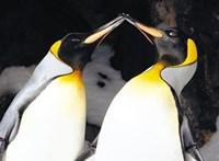 Negyedik fiókáját neveli a meleg pingvinpár