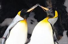 Ilyet még nem láttunk: sárga színű pingvint kapott lencsevégre egy belga fotós
