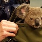 Amit még az ausztrál rendőrök sem hisznek el: koala a hátizsákban