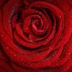 Biológusok megfejtették a rózsák titkát