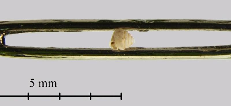 Magyar biológus fedezte fel a világ legkisebb szárazföldi csigáját