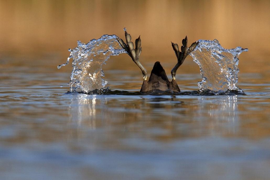 NE HASZNÁLD! - canon év természetfotósa, természetfotó, II. A madarak viselkedése, Kacsaláb, 1. díj és a naturArt Dr. Tildy Zoltán-különdíj, valamint a Sakertour Team különdíja