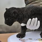 Fotók: Plüsscicára emlékeztető fekete jaguár született Szegeden