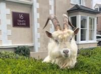 A walesi kecskék ellenállnak a kijárási korlátozásoknak