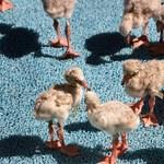 Kétezer flamingófiókát mentettek meg a szárazságtól
