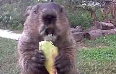 Visszatért Chunk, a világ legnépszerűbb mormotája