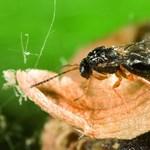 Nébih: mindenki szóljon, aki szelídgesztenye-gubacsdarazsat lát - fotó