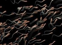 100 millió éve élt állat hímivarsejtjeit találták meg a tudósok