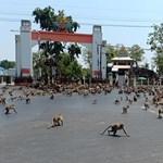 Több száz majom rendezett tömegverekedést Thaiföldön