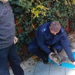 Őzet mentettek medencéből a rendőrök - képek