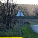 Hatalmas vonuló szarvascsordát videóztak Mohácsnál