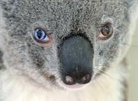 Új eljárással segítenének az éhező koalákon