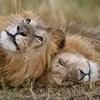 Fél tucat oroszlán megszökött egy nemzeti parkból és háziállatokra támadt