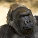 Elpusztult a világ egyik legidősebb gorillája