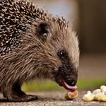 Már a sündisznókra is figyelmeztetnek a brit utakon