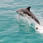 Egy delfin miatt zártak le több strandot Franciaország északnyugati partjainál