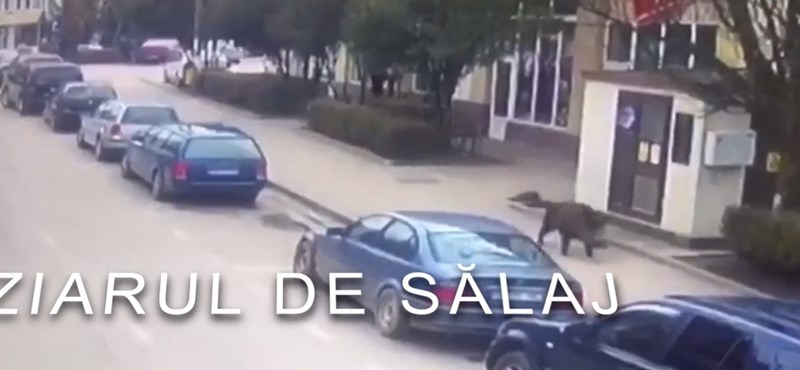 Kitépte a szatyrot egy nő kezéből a városba tévedt vaddisznó - videó
