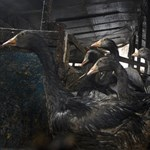 Megint több tízezer madarat kell leölni