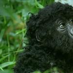 Robotmajombébi épült be a gorillák közé, fantasztikus videókat csinált