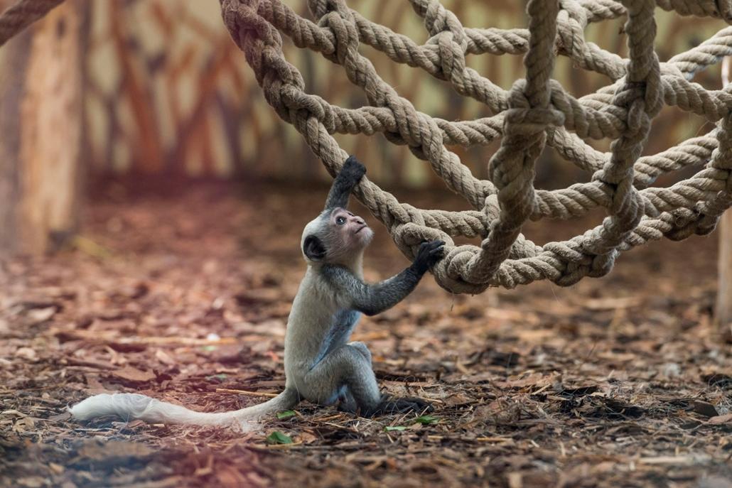 hét képei - mti.Kéthetes zászlós farkú kolobusz (Colobus guereza) a veszprémi állatkertben 2016. július 29-én. A rendkívül látványos, mozgékony majomfaj, a zászlós farkú kolobusz, más néven zászlós farkú gereza Közép-Afrika elsősorban bambusz- és esőerdei