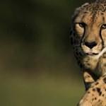 Az emberek okozzák a gepárd vesztét: a kihalás szélére került a világ egyik leggyorsabb állata