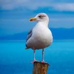 Tele van műanyagszeméttel a tengeri madarak fészke
