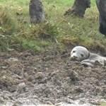 Fotó: Elveszett fókabébit találtak a mezőn kérődző tehenek
