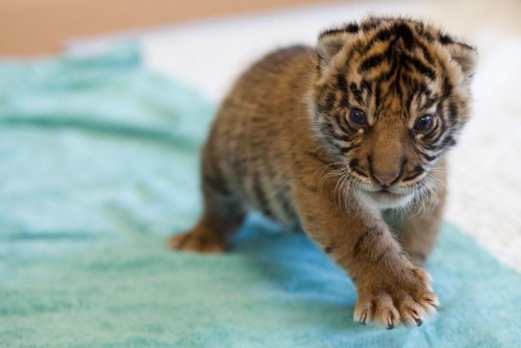 Washington - Jaya, a Point Defiance Állatkert új tigriskölyke - Hét képei - nagyítás