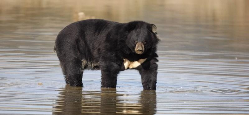 Lelőttek Japánban egy medvét, amely megsebesített négy embert és kiiktatott egy rendőrautót