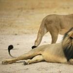 Oroszlánmentőnek szegődtek a maszáj vadászok