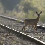 Fújtató, ugató vonatokkal tartanák távol a sínektől az oda tévedő őzeket Japánban
