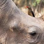 Állati együttműködés: a vöröscsőrű nyűvágó menti az orrszarvú életét