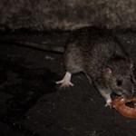 Állami pénzeken felnőtt szúnyogölőknek kellene megfékezni a budapesti patkányokat
