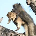 Oroszlánkölyköt lopott egy pávián Dél-Afrikában