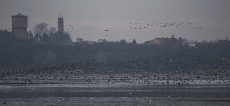 Fotó: Több tízezer vadlúd lepte el Tatát