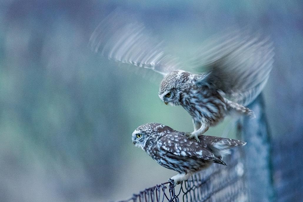 NE_! - A Magyar Madártani és Természetvédelmi Egyesület különdíja - Emeletes szerelem - Az Év Természetfotója 2014, nagyítás