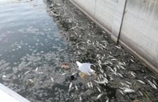 Tömegesen pusztulnak a halak a Velencei-tóban