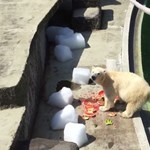 Csobbanak és dinnyéznek a jegesmedvék az Állatkertben