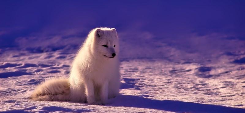 Ledöbbentek a kutatók: egy fiatal sarki róka 3506 kilométert tett meg 76 nap alatt