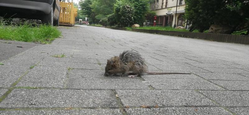 Megváltoztatná a főváros a patkányirtás rendszerét