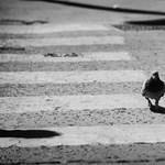 Gyorshajtó galambot fotózott a traffipax