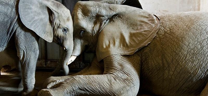 Riadót fújnak az elefántok méhraj láttán